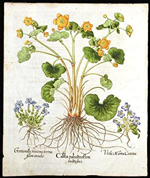 Martch marigold] Caltha palustris flore multiplici; [March violet] Viola Martia Canina; [Spring ...