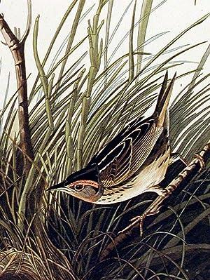 "Sharp-tailed Finch. From ""The Birds of America"" (Amsterdam Edition): AUDUBON, John James ..."