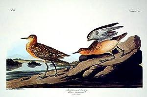 "Buff breasted Sandpiper. From ""The Birds of America"" (Amsterdam Edition): AUDUBON, John ..."