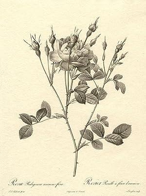Rosa Rubiginosa anemone-flora / Rosier Rouille à: REDOUTÉ, Pierre-Joseph (1759-1840)