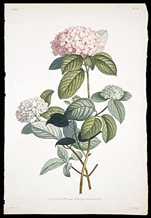 Rameau d'Hortensia: PREVOST, Jean Louis
