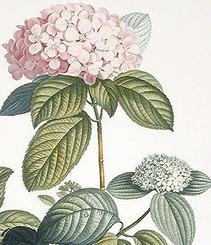 Rameau d'Hortensia: PREVOST, Jean Louis (active circa 1760-circa 1810)