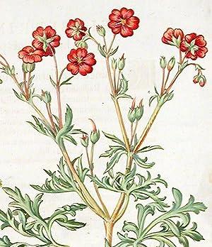 Streaked cranesbill] Geranium Sanguinarium; [Bigroot geranium] Geranium Macrobizon; [Tuberous ...