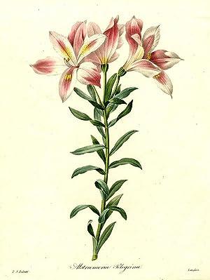 Alstroemeria Pelegrina [Peruvian Lily]: REDOUTÉ, After Pierre-Joseph (1759-1840)