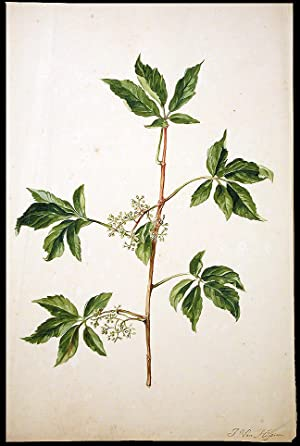 Elder (Sambucus nigra): VAN HUYSUM, Jacob (circa 1687-1740)