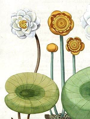 European white water lily] Nymphæa alba maior; [European white water lily] Nymphæa alba...