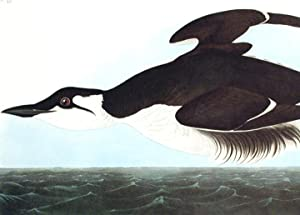 "Uria Brunnichii [Large-billed Guillemot]. From ""The Birds of America"" (Amsterdam Edition)..."