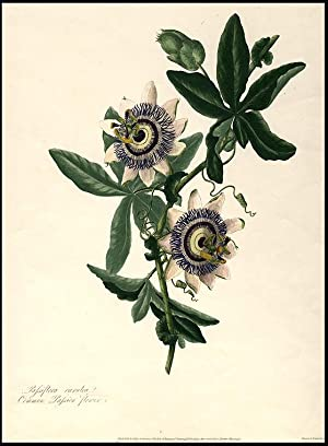 Passiflora caerulea Common Passion flower: LAWRANCE, Mary