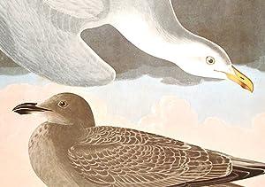 "Herring Gull. From ""The Birds of America"" (Amsterdam Edition): AUDUBON, John James (1785-..."