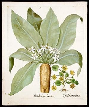 Mandrake] Mandragora foemina; [Lesser celandine or Buttercup] Chelidonium minus: BESLER, Basil (...