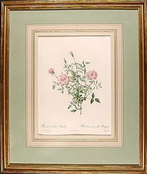 Rosa Indica Pumila / Rosier nain du Bengale [Double Miniature Rose]: REDOUTÉ, Pierre-Joseph (1759-...