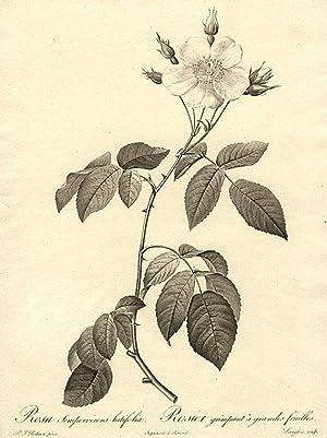 Rosa sempervirens latifolia / Rosier grimpant à grandes feuilles [Variety of Evergreen ...