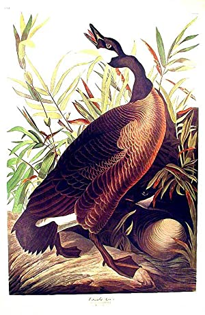 "Canada Goose. From ""The Birds of America"" (Amsterdam Edition): AUDUBON, John James (1785-..."