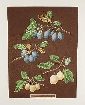Plums] Common Damson, White Damson: BROOKSHAW, After George (1751-1823)