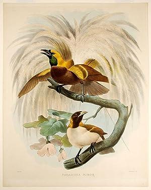 Paradisea Minor [Lesser Bird of Paradise]: WOLF, Joseph (1820-1899)
