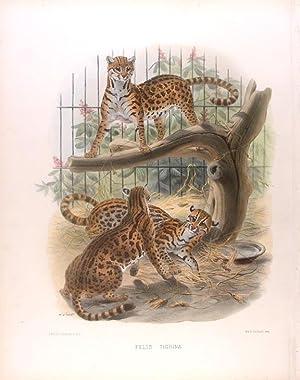 Felis Tigrina [Margay]: WOLF, Joseph (1820-1899)