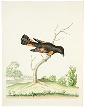 Orchard Oriole]: ABBOT, John (1751-1840)]