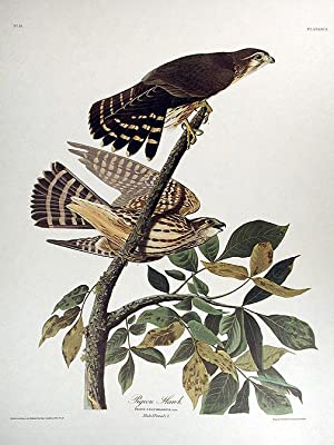 "Pigeon Hawk. From ""The Birds of America"" (Amsterdam Edition): AUDUBON, John James (1785-..."
