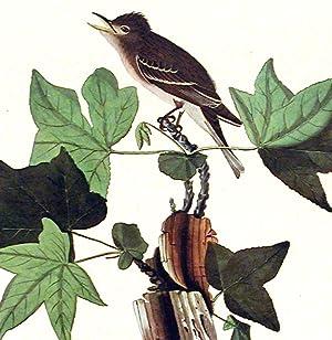 "Traill's Flycatcher. From ""The Birds of America"" (Amsterdam Edition): AUDUBON, John ..."