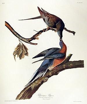 "Passenger Pigeon. From ""The Birds of America"" (Amsterdam Edition): AUDUBON, John James (..."