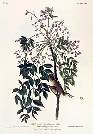 """White-eyed Flycatcher or Vireo. From """"The Birds of America"""" (Amsterdam Edition): AUDUBON,..."""
