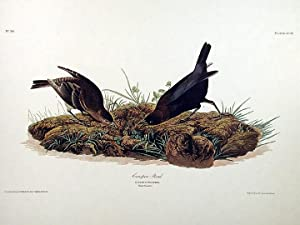 "Cow-pen Bird. From ""The Birds of America"" (Amsterdam Edition): AUDUBON, John James (1785-..."