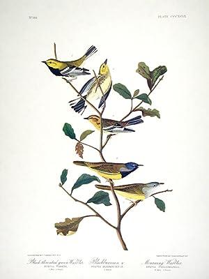 "Black-throated Green Warbler, Blackburnian Warbler, Mourning Warbler. From ""The Birds of ..."