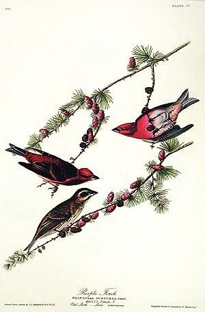 "Purple Finch. From ""The Birds of America"" (Amsterdam Edition): AUDUBON, John James (1785-..."