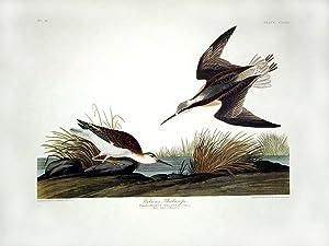 "Wilson's Phalarope. From ""The Birds of America"" (Amsterdam Edition): AUDUBON, John ..."