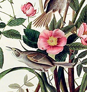 "Sea-side Finch. From ""The Birds of America"" (Amsterdam Edition): AUDUBON, John James (..."