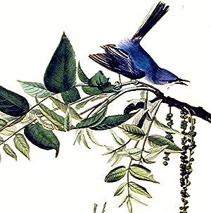 "Blue-grey Fly-catcher. From ""The Birds of America"" (Amsterdam Edition): AUDUBON, John ..."