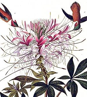 "Rough-necked Humming-bird. From ""The Birds of America"" (Amsterdam Edition): AUDUBON, John ..."