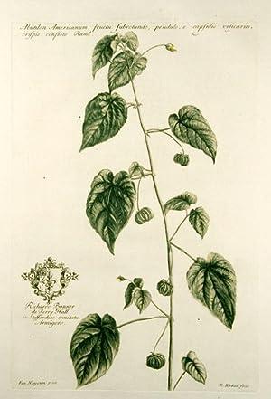 Abutilon Americanum, fructu subrotundo, pendulo, e capsulis vesicariis, crispis conflato Rand [...