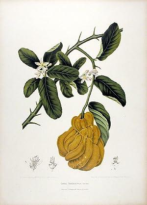 Citrus Sarcodactylis [Fingered Citron or Buddha's Hand]: HOOLA VAN NOOTEN,