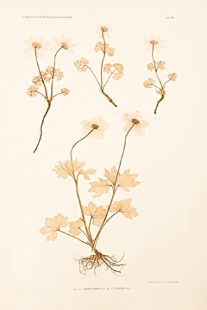 Anemone baldensis; A. sylvestris: ETTINGSHAUSEN, Constantin Freiherr Von (1826-1897), and POKORNY, ...