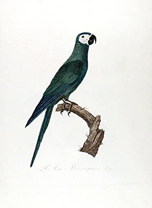Red-bellied Macaw (L'Ara Macavouanne): BARRABAND, Jacques (1767/8-1809)