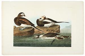 Long-Tailed Duck [Oldsquaw]: AUDUBON, John James (1785-1851)