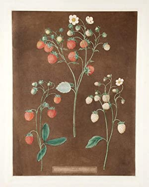 Strawberries] New Early Prolific (Scarlet Strawberry); Wood Strawberry; White Alpine: BROOKSHAW, ...