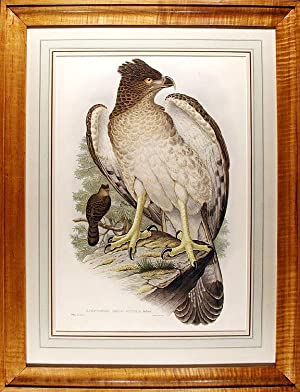 New Guinea Eagle] Harpyopsis Novae Guineae: GOULD, John (1804-1881) and Richard Bowdler SHARPE (...