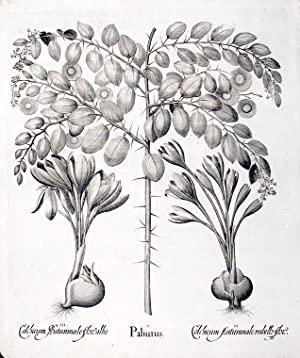Christ's Thorn (Jerusalem Thorn)] Paliurus; [Multiflorus Meadow Saffron] Colchicum Autumnale ...