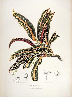 Codiaeum Variegatum [Croton]: HOOLA VAN NOOTEN,