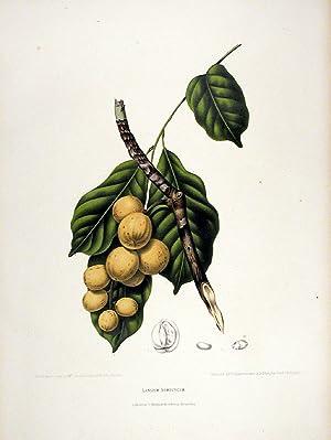 Lansium Domesticum [Langsat or Duku]: HOOLA VAN NOOTEN,