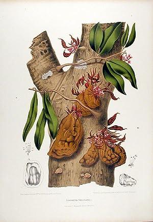 Cynometra Cauliflora [Nam Nam]: HOOLA VAN NOOTEN,