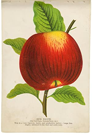 [A tree-peddler's sample book containing a large collection of colour fruit and botanical specime...