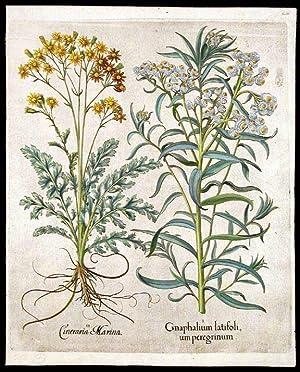 Gnaphalium latifolium peregrinum [Pearly everlasting]; Cineraris Marina: BESLER, Basil (1561-1629)