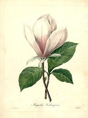 Magnolia Soulangiana [Magnolia]: REDOUTÉ, After Pierre-Joseph