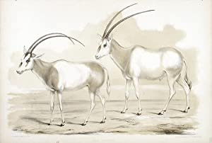 Oryx Leucoryx: WATERHOUSE HAWKINS, Benjamin