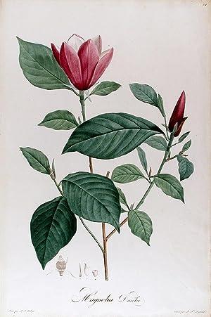 Magnolia Discolor: REDOUTÉ, After Pierre-Joseph