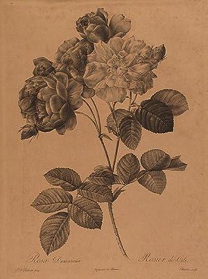 Rosa Damascena / Rosier de Cels: REDOUTÉ, Pierre-Joseph (1759-1840)