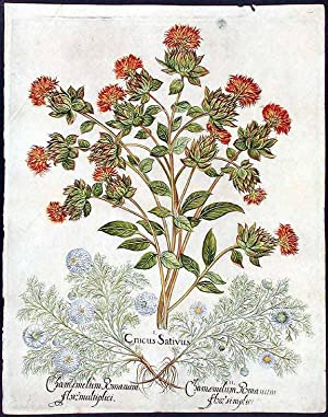 False saffron (safflower)] Cnicus sativus; [Chamomile] Chamemelum Romanum flore simplici; [Roman ...